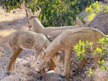 San Diego Archers Buck Doe